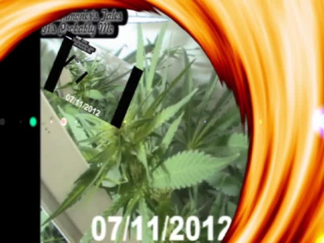 Breezy's Bubblegum Bagseed July 2012 grow Images (Sting)
