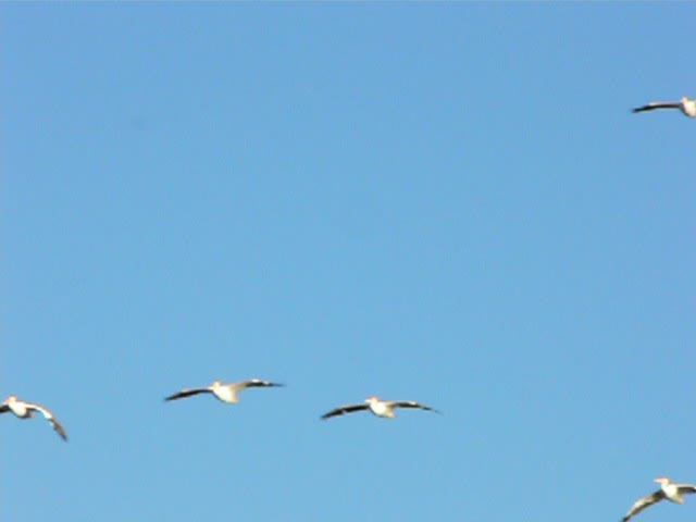 White Pelicans landing at Circle B Bar Reserve