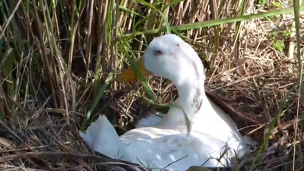 Mallard (Anas platyrhynchos) Pekin Duck