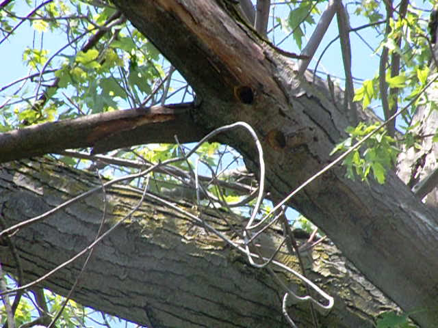 Woodpecker nest &#8211; 24 May 2012