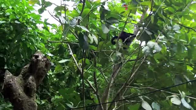 Costa Rica Monkeys