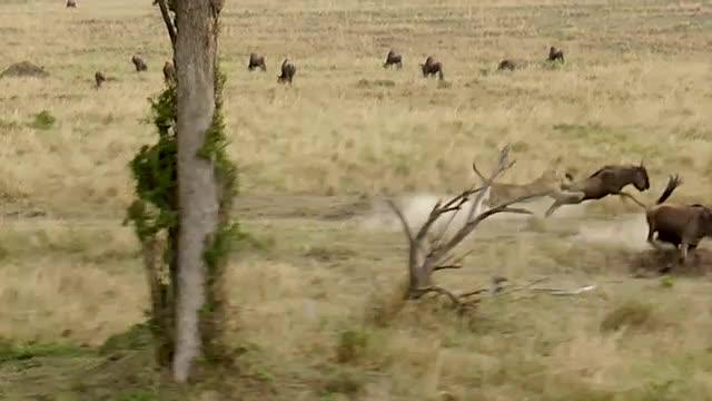 Wildebeest v Leopard