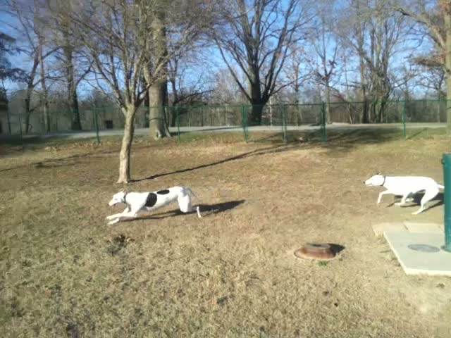 Greyhounds at the Dog Park (Murphysboro, Il.)