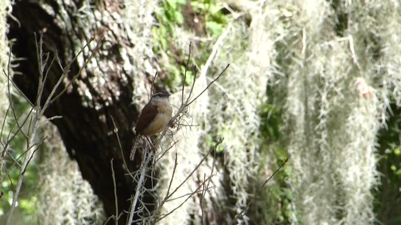 Carolina Wren at Circle B