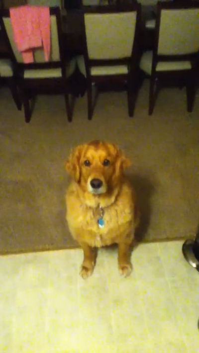 Fergus the Golden Retriever Eats Better Than Most Humans