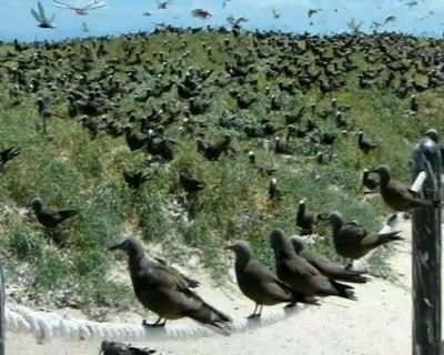 Noisy Terns on Michaelmas Cay
