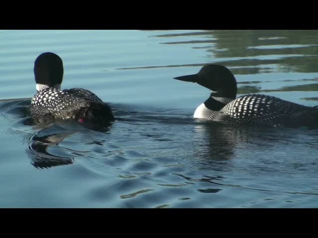 nice close range look at bands of locomoting loons