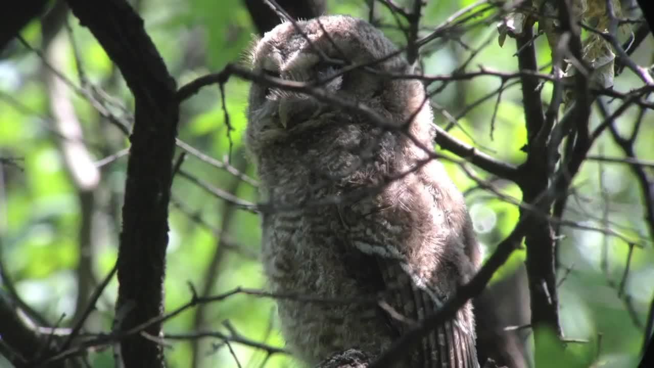Chinese Tawny Owl