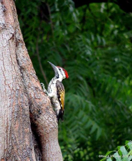 Woodpecker at work feeding my soul