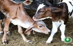 AGRICULTURA PRESENTA PRIMEROS NACIMIENTOS POR FERTILIZACIÓN IN VITRO EN RD