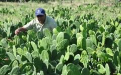 Promueven el uso de la opuntia o nopal en la alimentación animal