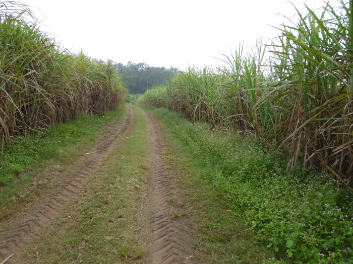 Shortcut through the sugar cane fields