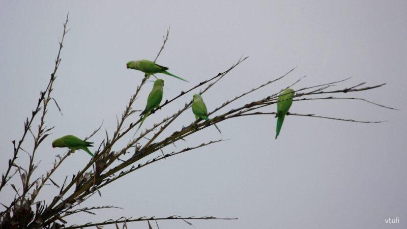 Parakeet - Birding Diary - 2