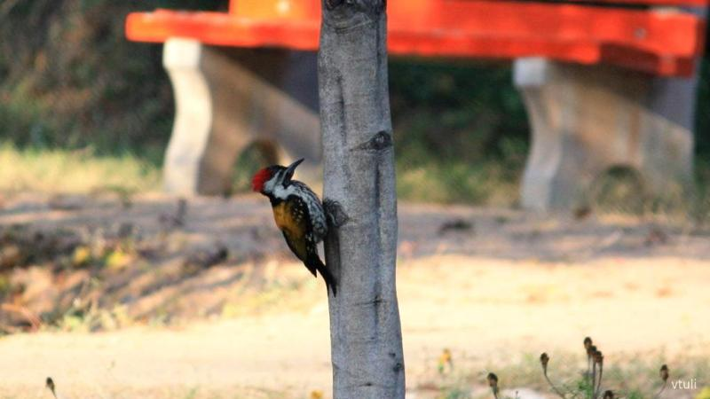 Golden Backed Woodpecker - Birding Diary - 3