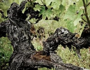 viniditalia ceps vigne