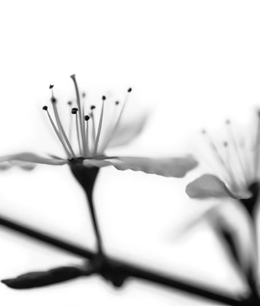 olivier-garcia-prunus-spinosa-1