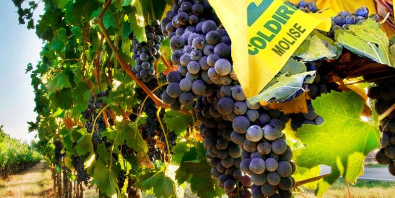 uva-produzione-vino-2014-in-calo-molise
