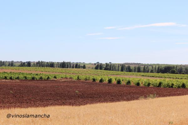 Viñedo en Castilla La Mancha. La Mancha.