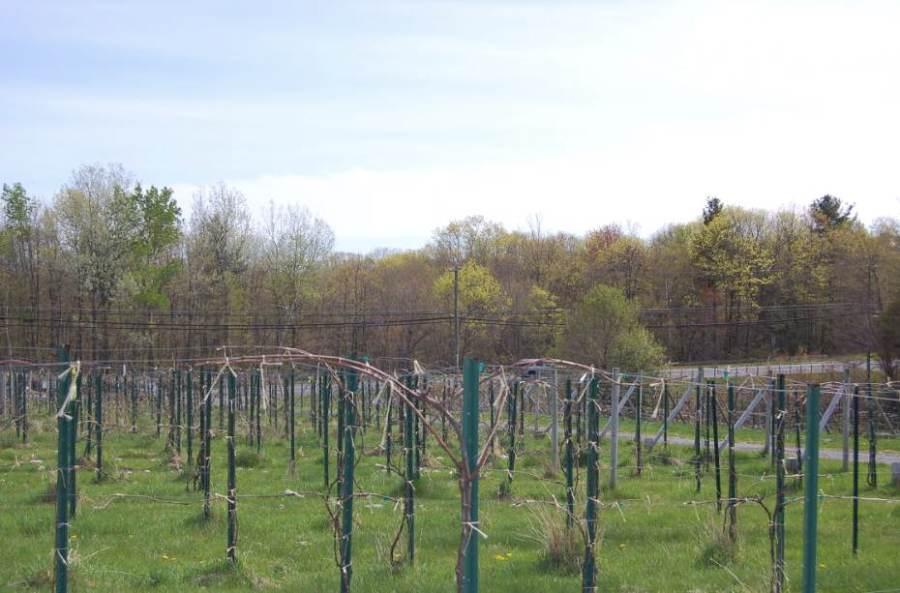 CT Valley Vineyards / Photo: Marguerite Barrett