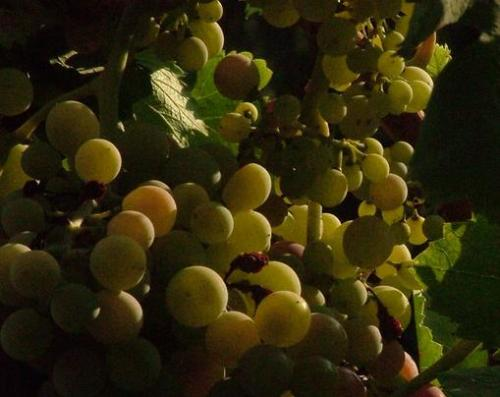 Photo of Aglianico grapes by ANTONELLO under a Creative Commons Attribution 2.0 Generic license
