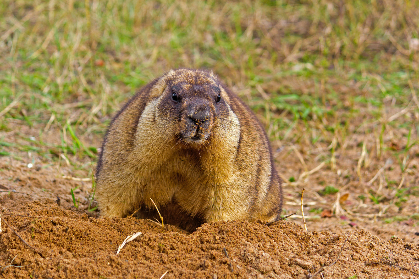 Regaling Groundhogs How To Get Rid Gophers Moles Va How To Get Rid How To Get Rid Groundhogs Woodchuck Removal Poison How To Get Rid Gophers houzz-03 How To Get Rid Of Gophers