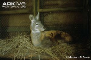 Male-Kashmir-muskdeer-in-captivity