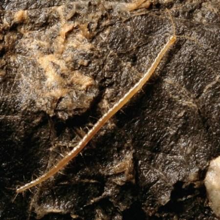 CentipedeFromHell02