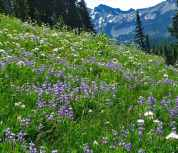 lupine-valerian-at-Paradise