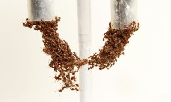 Watch How Ants Move Like Self-Healing Material
