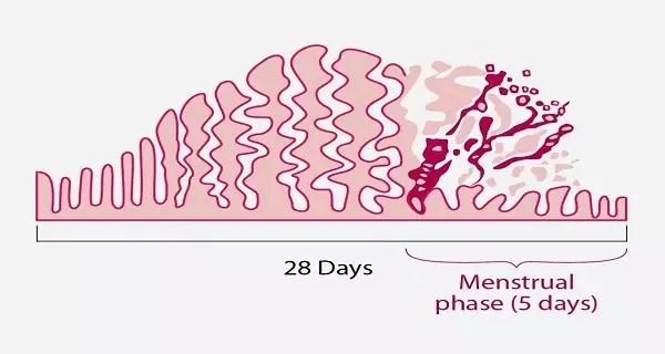 endometrium-cycle