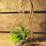 Air Plant Tillandsia Bromeliads Kit