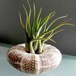 Hinterland Trading Air Plant Tillandsia Mini Medusa Sea Urchin Shell Terrarium Kit