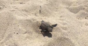 Una de las tortugas que nació esta mañana en Playa Sucia, Cabo Rojo. (Facebook / Departamento de Recursos Naturales y Ambientales)