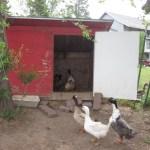 Missing Ducks Aren't a Laughing Matter