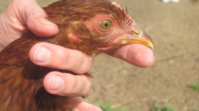 laying hens: eggs or no?