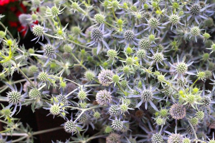 "My new favorite! I loved this prickly stuff: eryngium ""Blue Glitter""."