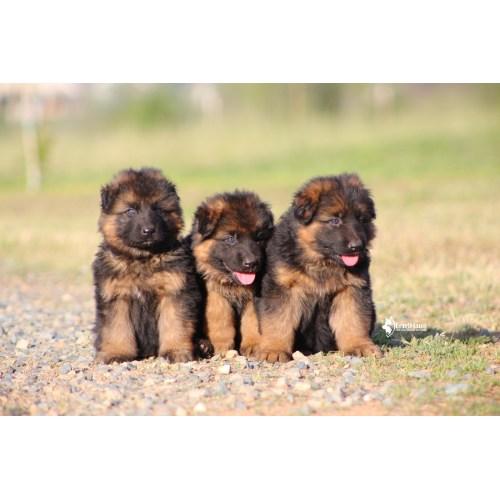Medium Crop Of Pictures Of German Shepherds