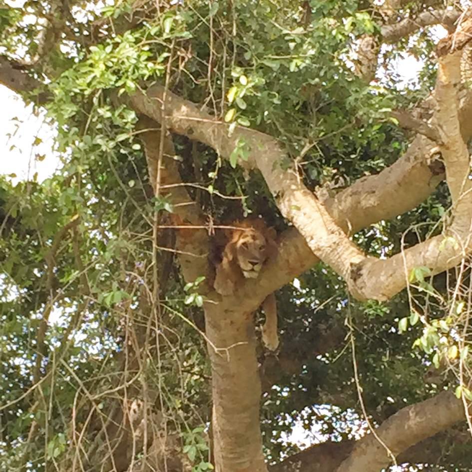 Leeuwen in Queen Elisabeth National Park