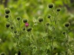 Canada thistle (Cirsium arvense)