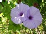 Mile-a-minute vine (Persicaria perfoliata)
