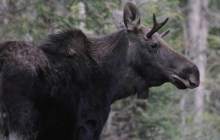 In This State: For Vermont's largest mammal, the moose, some tiny, terrible problems