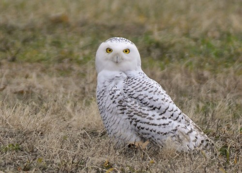 Snowy owls have been turning up in farm fields, backyards and even at a Christmas party in Vermont this winter. Photo by Rollin Tebbetts