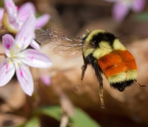 Tri-colored Bumblebee ©Bryan Pfeiffer