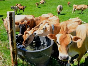 "Thirsty Jerseys, part of a herd of 50 that produce fresh unhomogenized ""cream-top"" milk sold at 4 Corners Farm, gather at a water tub. Photo by Andrew Nemethy"