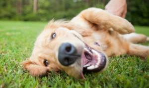 Dog Park Play, Golden Retriever Playing