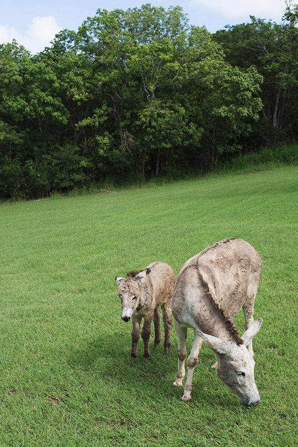 Wild donkeys spotted on Caneel Bay Resort