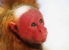Bald Uakari – The Red Faced Monkey of the Amazon