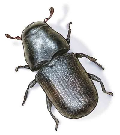 mountain-pine-beetle