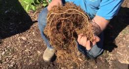 How to Plant Trees – Spreading Roots Properly and Sheet Mulching