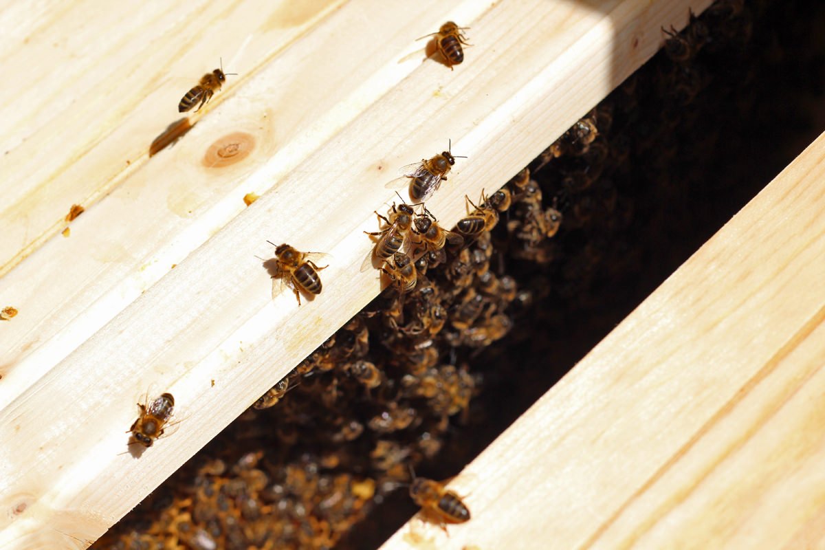 A peek into the top bar hive